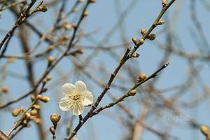 広州香雪公園の梅