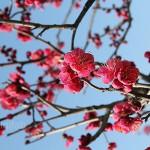 京都梅小路公園「梅こみち」
