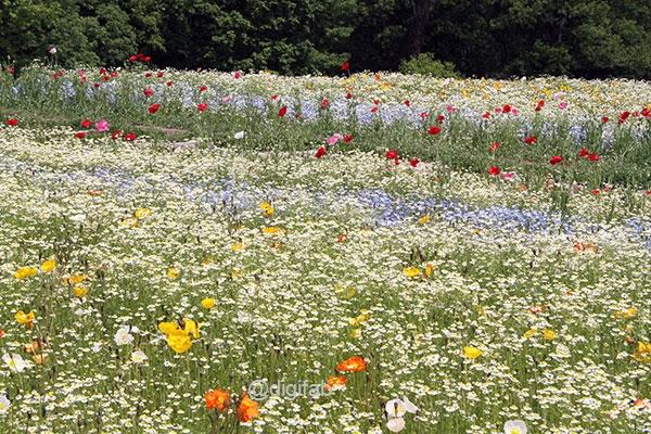 万博記念公園花の丘ポピー